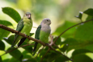 Two wonderful Grey Headed Lovebird perched together on a branch
