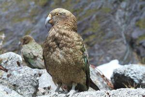 A Kea's beautiful brown chest feathers and striking beak