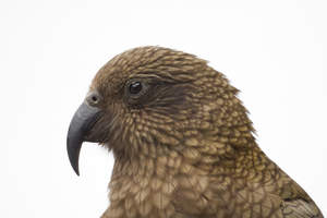 A close up of a Kea's incredible, long beak