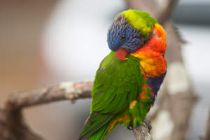 A Rainbow Lorikeet's beautiful, green wing feathers