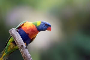 A Rainbow Lorikeet's beautiful, little, orange beak