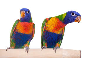 Two Rainbow Lorikeet's showing off their amazing feather colours