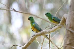 Two beautiful Red Rumped Parrots perched in a tree