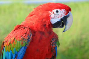 A close up of a Red and Blue Macaw's beautiful, white face fethers
