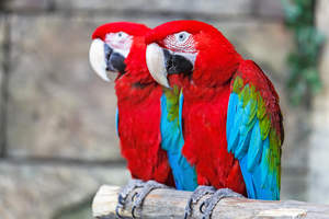 Two Red and Blue Macaws with incredible red feathers