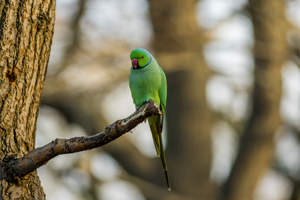 A Rose Ringed Parakeet's beautiful, purple ring around it's neck