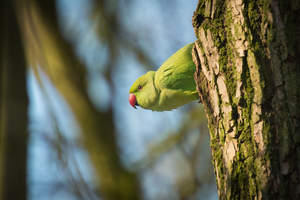 A Rose Ringed Parakeet's beautiful, red beak