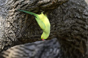 An incredible Rose Ringed Parakeet hanging from a tree