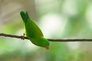 A Vernal Hanging Parrot's wonderful green feathers
