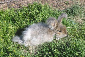 An Angora rabbit playing on the grass