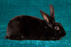 The wonderful short thick black fur of a Black Rex rabbit
