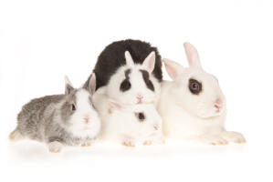 Three beautiful little Hotot rabbits