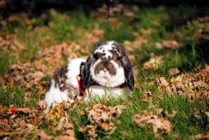 A lovely little Mini Lop rabbit sitting in the grass