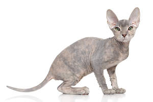 a pretty donskoy kitten with a long skinny tail