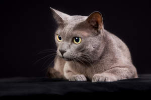 cute Korat cat lying down