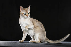 The Singapura cat has a small athletic body