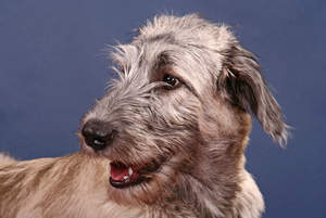 A close up of an Irish Wolfhound's lovely wiry beard and soft ears