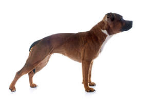 A young, red coated Staffordshire Bull Terrier standing tall, showing off its wonderful physique