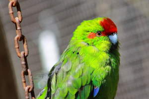 A close up of a Red Crowned Parakeet's wonderful, red head feathers