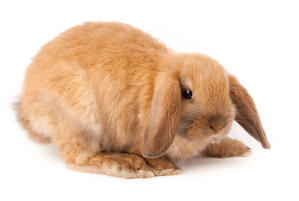A Mini Lop rabbit with wonderful big back feet