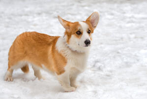 A healthy adult Cardigan Welsh Corgi enjoying the snow