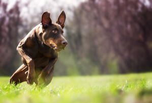 A Doberman Pinscher running at full pace