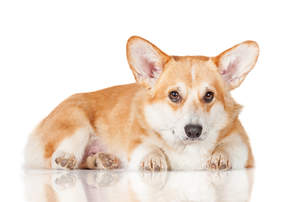 A young adult Pembroke Welsh Corgi resting, waiting for some attention