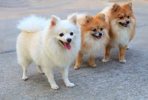 Three lovely Pomeranians, each with big, bushy tails and beautiful pointed ears