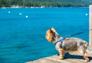 A lovely little Silky Terrier, eager to get in the water