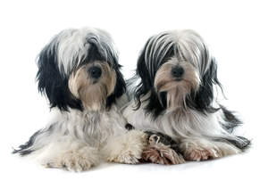 Two black and white Tibetan Terriers with wonderful, long soft coats