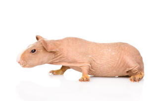 A Skinny Guinea Pig's wonderful long hairless body