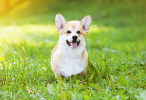 A beautiful, little Pembroke Welsh Corgi waiting patiently in the grass