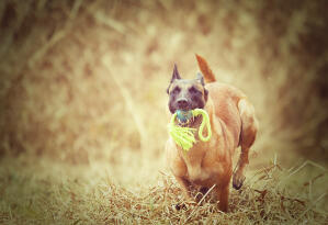 A happy Belgian Shepherd Dog (Malinois) out for a walk with a toy