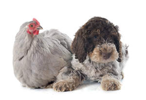 A cute Lagotto Romagnolo lying next to a friendly chicken