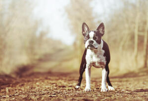 A wonderful, little Boston Terrier standing tall, awaiting a command