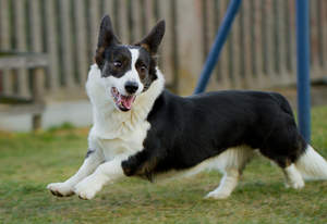 A black and white adult Cardigan Welsh Corgi, enjoying some exercise