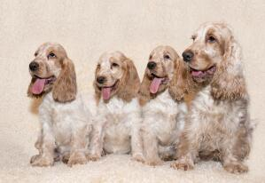 Four beautiful little English Cocker Spaniel's sitting together