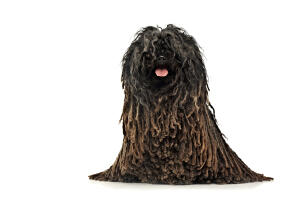A brown corded Puli sitting very neatly