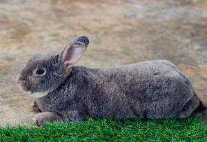 The wonderful thick charcoal grey fur of a Flemish Giant rabbit