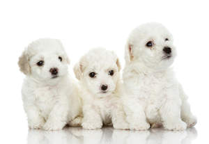 Three young Bichon Frise puppies sat closely together