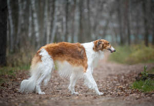 A beautiful, brown and white Borzoi, showing off its long, soft coat