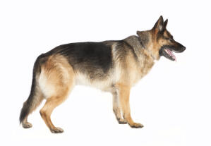 An adult German Shepherd with a lovely thick coat