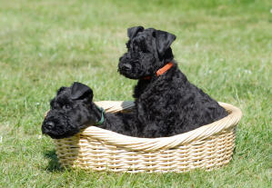 A wonderful little, black Kerry Blue Terrier puppies sitting in a basket