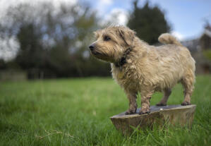 An adult Norfolk Terrier, showing off it's wonderul, short lets and scruffy coat