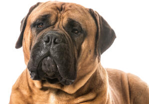 A close up of a Bullmastiff's typical wrinkly face