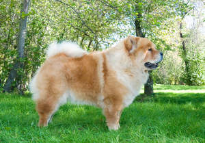 An adult Chow Chow with a beautiful physique and sharp, pointed ears