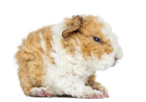 The beautiful thick curly coat of an Alpaca Guinea Pig