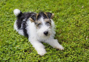 A young Wire Fox Terrier lying on the grass, ready to play