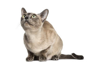 A Tonkinese cat looking very curious