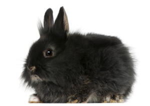 A beautiful little fluffy Lionhead rabbit with soft black fur